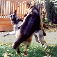 Picture: Ellie, my fourth guide dog (GSD) is frolicking in my back yard with Jasmine, a friend's German Shepherd  guide. Ellie is turning around while Jasmine is leaping in the air above her.